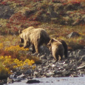 Grizzly with 2 cubs